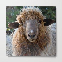 Sheep Looking at You Metal Print