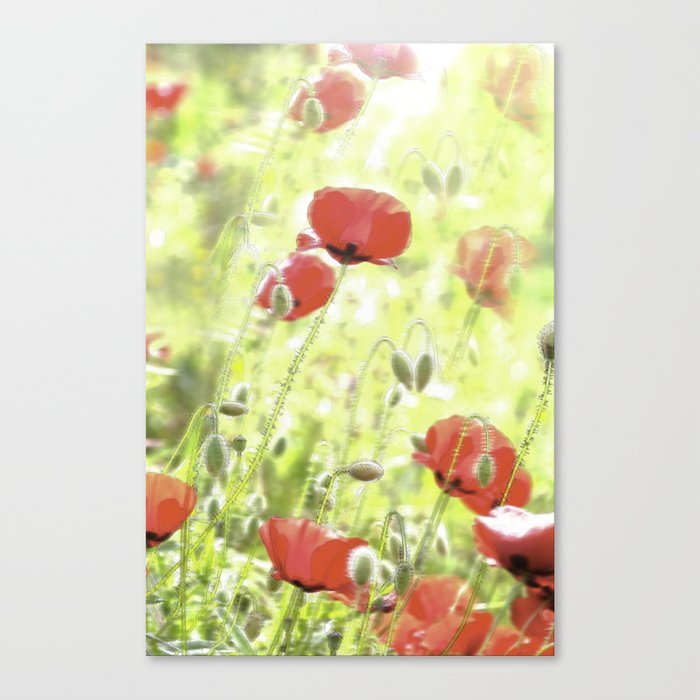 Poppies in the bright sunshine Canvas Print