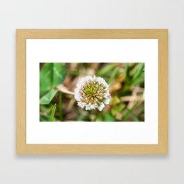 White Clover Flower (Macro) Framed Art Print