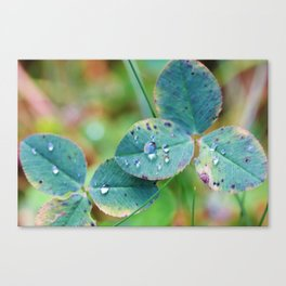 Clover leaves with rain drops Canvas Print