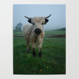 Young White High Park Cattle Poster