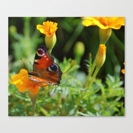 Peacock Butterfly on Marigolds Canvas Print