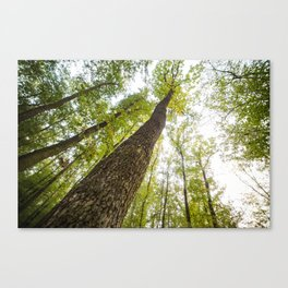 Bottom View Into The Treetops Canvas Print