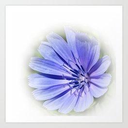 purple blue chicory Art Print