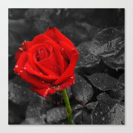 Water rose Canvas Print