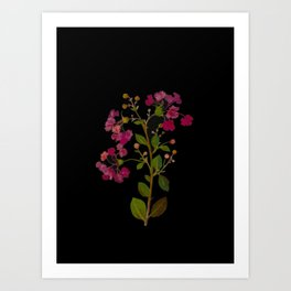 Lagerstroemia Indica Mary Delany Floral Flower Delicate Paper Collage Black Background Botanical Art Print