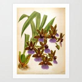 Zygopetalum Gautieri Vintage Lindenia Orchid Art Print