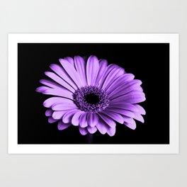 Purple Chrysanthemum Big Flower Flowers Floral Violet Art Print
