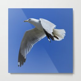 Ring-Billed Gull in Flight Metal Print