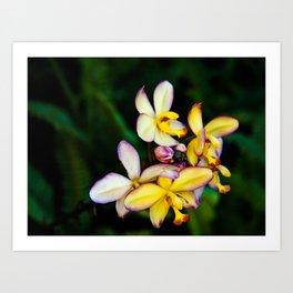 Pretty Plumeria, Hawaii's Flower Art Print