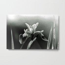 Beautiful Blue Flag Iris in black and white Metal Print