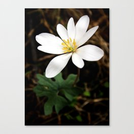 Bloodroot Flower, Early Spring Ephemeral, Botanical Print, Nature Art Canvas Print