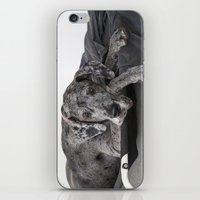 great dane iPhone & iPod Skins featuring Great Dane waiting by Deborah Janke