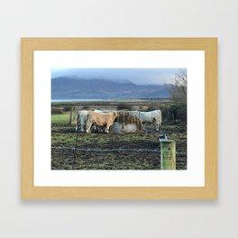 Cows Lunch Kerry Ireland Framed Art Print