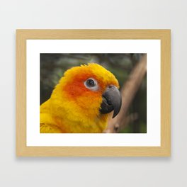 Sun conure parrot Framed Art Print
