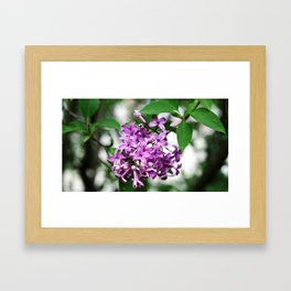 Lilac bushes bloom in the city park of Nalchik. Framed Art Print