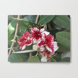 Fejoja bloom Metal Print