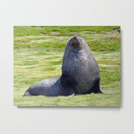 Fur Seal Metal Print