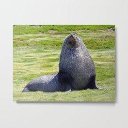 Fur Seal Metal Print