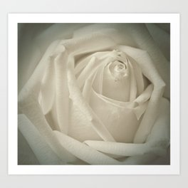 Soft White Rose Art Print