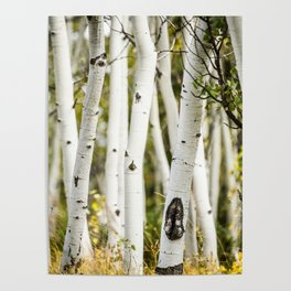Picture Aspen Trees Poster