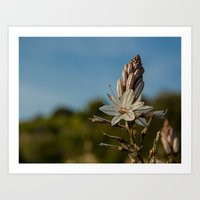 Flower of asfodelo Art Print