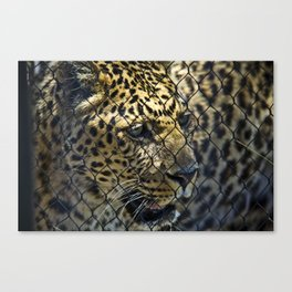 Caged Leopard Canvas Print