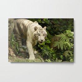 Approaching Tiger Metal Print
