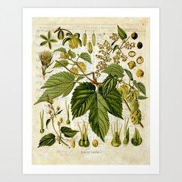 Common Hop Botanical Print on Vintage almanac collage Art Print