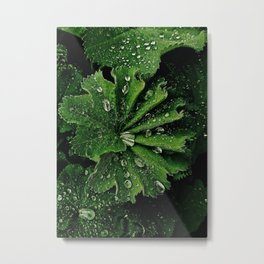Dew On Rose Scented Geranium Leaves Metal Print
