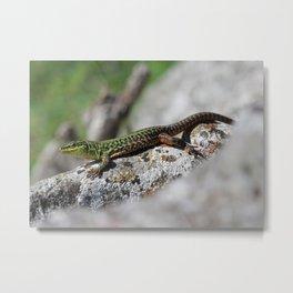 Italian Wall Lizard 2 Metal Print