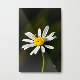 Tiny Daisy And Crab Spider Metal Print