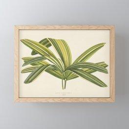 Slender Lady Palm (Rhapis Flabelliformis) engraved by Benjamin Fawcett (1808-1893) for Shirley Hibbe Framed Mini Art Print