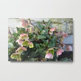 Pink flowers against an old brick wall Metal Print