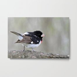 A Touch of Class: Rose-Breasted Grosbeak Metal Print