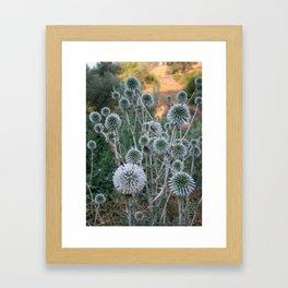 Seed Head Of Leek Flower Allium Sphaerocephalon  Framed Art Print