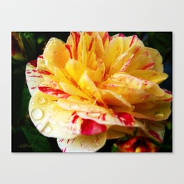 Candy Striped Rose Canvas Print