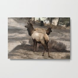Young Elk Bucks   -  Banff Alberta Metal Print