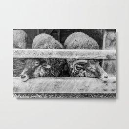 Two Little Sheep Metal Print
