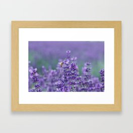 Lavender with bee in the background Framed Art Print