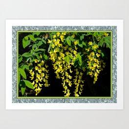 GOLDEN CHAIN TREE LABURNUM ALPINUM Art Print