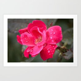 Raindrop Rose Art Print