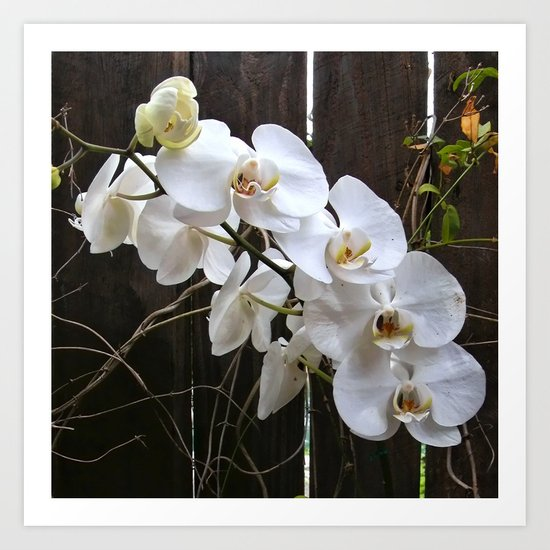 White Orchid Art Print