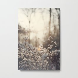 Northern Cotton Metal Print