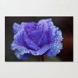 Water drops on purple rose flower Canvas Print