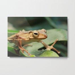Borneo Eared Frog Metal Print