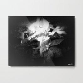 Mixed color Poinsettias 3 Dark Metal Print