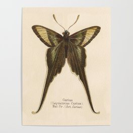 Antique Curius Butterfly Lithograph Poster