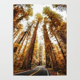 red woods forest in california Poster