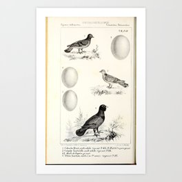 015 Rock Pigeon columba livia European Turtle Dove columba turtur Western Capercaillie tetrao urogallus6 Art Print